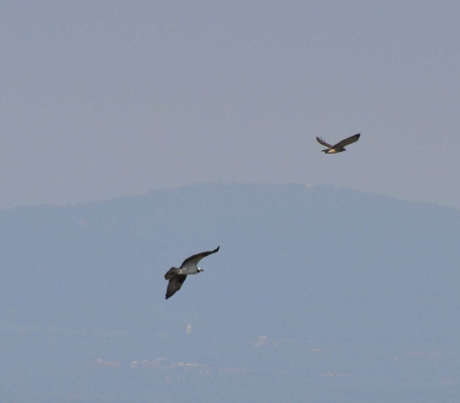 Osprey and Broad-winged Hawk